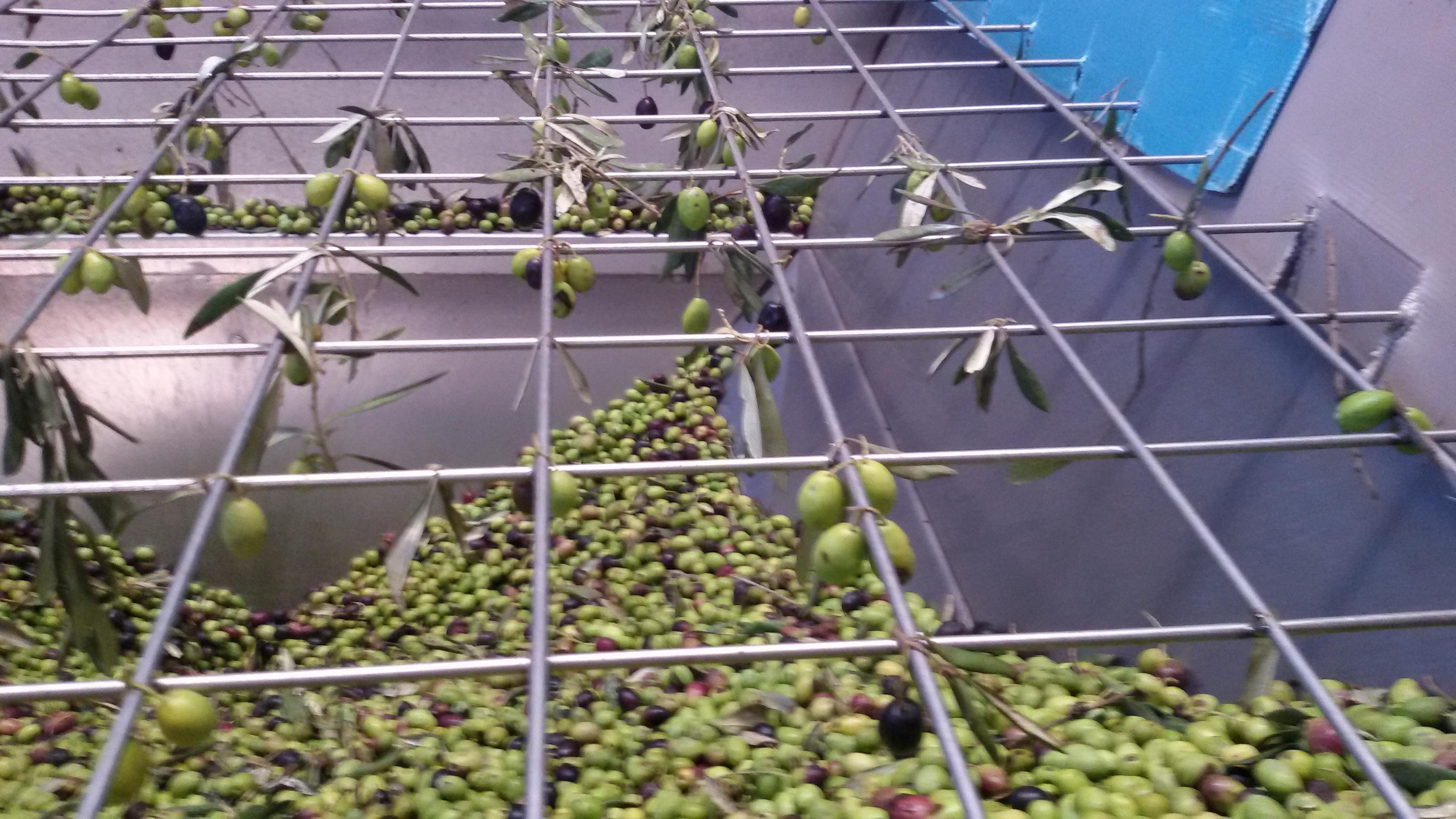 Fragen und Antworten zu meinem Olivenhain, zum Olivenanbau allgemein und zu Olivenbäumen in Deutschland sowie zu Speiseoliven und Olivenöl.